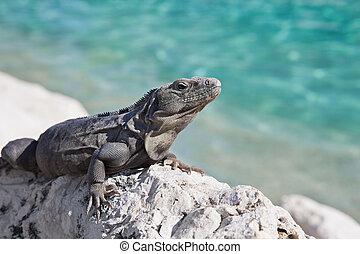Iguana - A large Mexican Spiny-tailed iguana (Ctenosaura ...