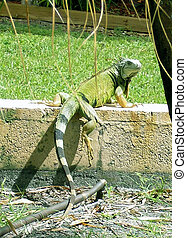 Iguana - Big green iguana