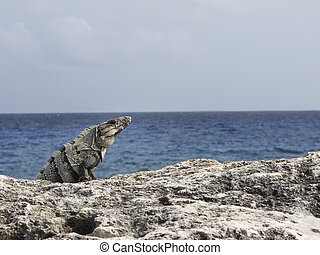 Iguana by the ocean