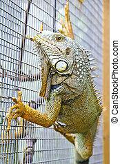 Iguana - Close up of iguana climbing on the wall