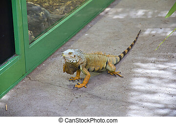 Iguana - Close up of iguana walking on the floor