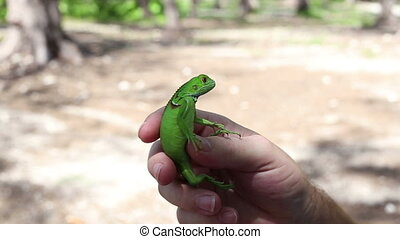 Iguana depth of field in hand two