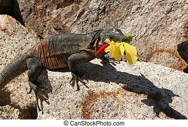 Iguana eating a flow