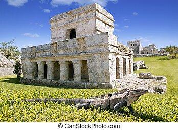 iguana, en, pasto o césped, en, tulum, maya, ruinas