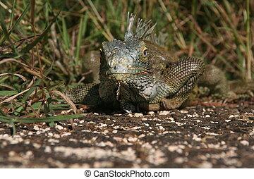 Iguana: Eye to Eye