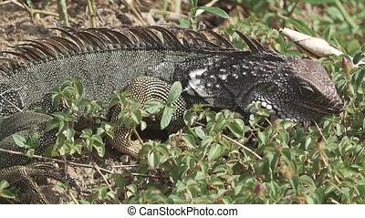 Iguana feeding - Long shot of Iguana feeding