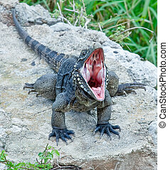 iguana from cuban islands with an open mouth.