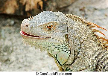 Iguana head - A head portrait of an iguana lizard