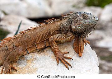Iguana in Cancun, Mexico - Iguana is a genus of herbivorous...
