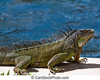 Iguana in Ft Lauderdale keeping his ground