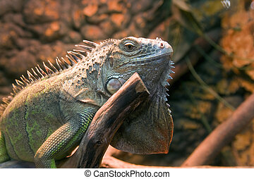 iguana in its natural environment
