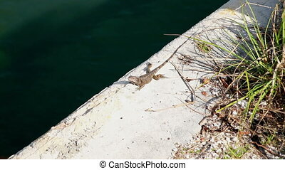 Iguana in the Florida Keys shot two - Iguana in the Florida...