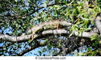 Iguana is a genus of herbivorous lizards that are native to...