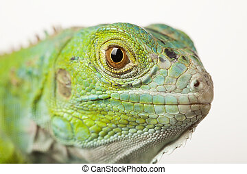 iguana, isolato, bianco, fondo