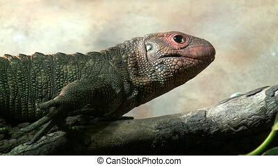 Iguana lizard smelling environment - A lizard is resting on...