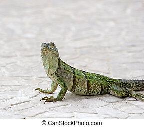 Iguana Looking at Camera