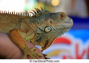 Iguana looking at the camera.