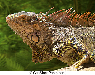 Iguana - Marine iguana resting in the sun