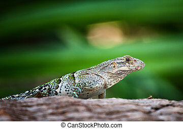 Iguana negro - Small iguana negro lie and watch