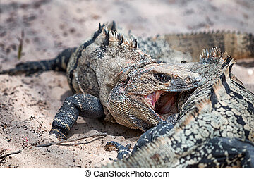 Iguana negro - Two iguanas shows really tough fight for...