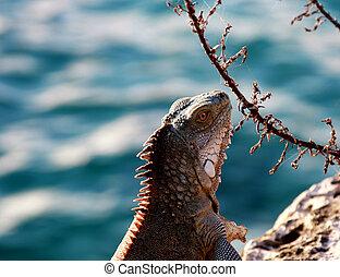 iguana, oceano, fondo, contro, sfocato