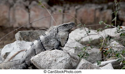 Iguana on a Rock - Iguana on a rock in the Mayan ruins of...