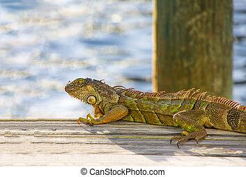 Iguana on Dock