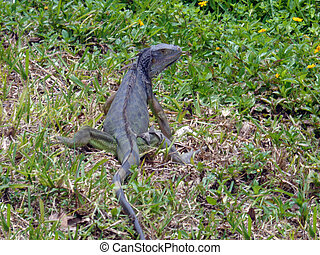 Iguana on green grass