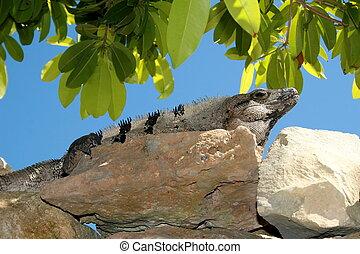 iguana on rocks