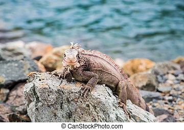 Iguana on Rocks Looking at Camera