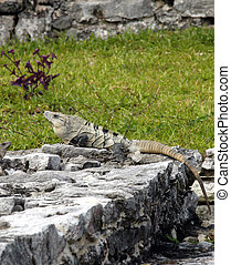 Iguana on ruins in Tulum, Mexico