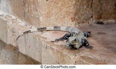 Iguana on Ruins - Iguana on Mayan ruins in Uxmal, Mexico