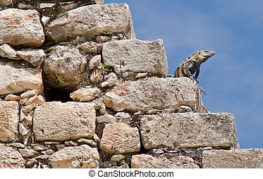 Iguana on the Pyramid of the Wizard