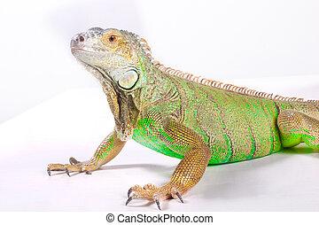 Iguana on white - green iguana on white background