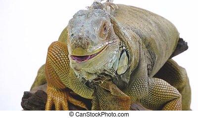 Iguana on wooden snag isolated on white background. Close up...
