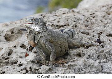 Iguana Perched on a Rocky Sea Wall - Bonaire