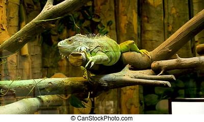 Iguana reptile in the terrarium at the zoo