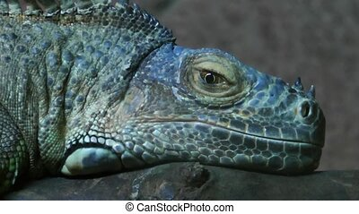 Iguana Reptile Lizard Animal in Nature
