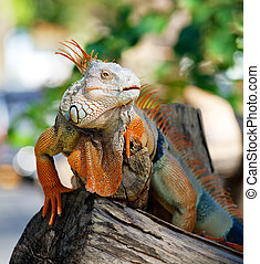 iguana reptile sitting on the tree