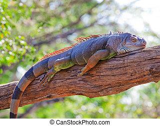 iguana reptile sleeping on the tree