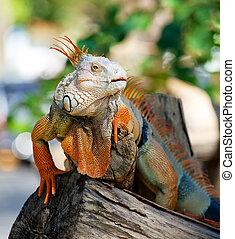 iguana reptile sitting on the tree