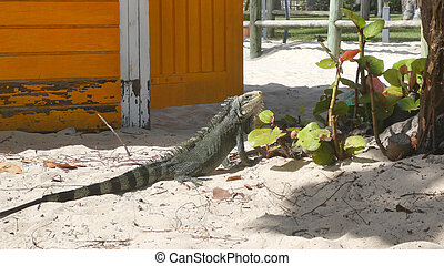Iguana resting on the sand in La Caravalle beach