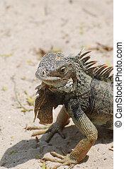 Amazing iguana sitting on a white sand beach in Aruba.