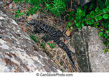 Iguana sitting on a structure of rock blocks