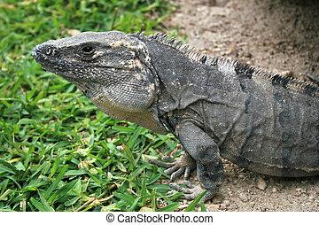 iguana - An iguana taking time to soak up the sun.