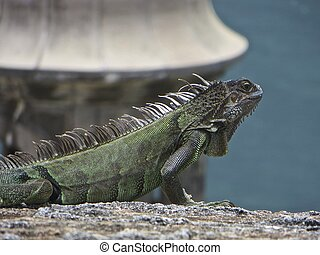 Iguana - An iguana soaking up the sun in San Juan, Puerto...
