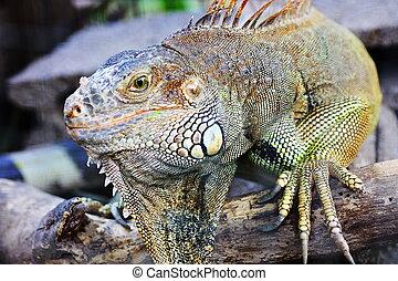 iguana  - Detailed shot of an Big iguana Lizard