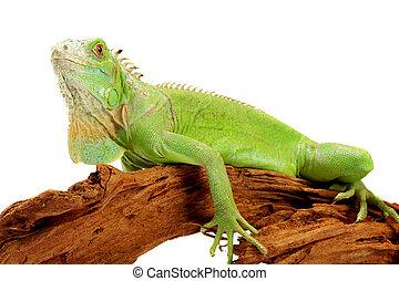 iguana there is a beautiful ornament of a domestic terrarium