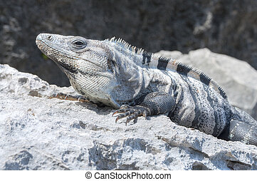 Iguana sunbathing on rock