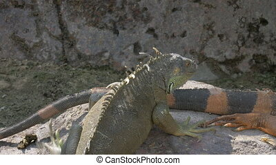 Iguana sunbathing on the stone - Big green iguana climbing...